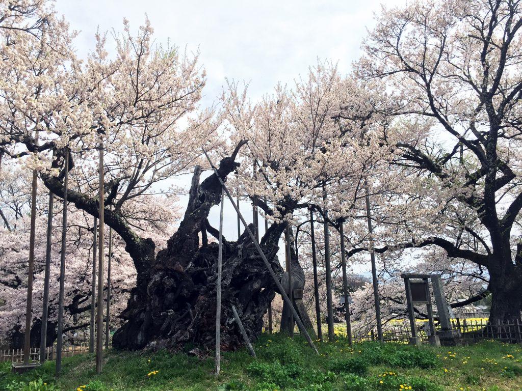 「神代桜」