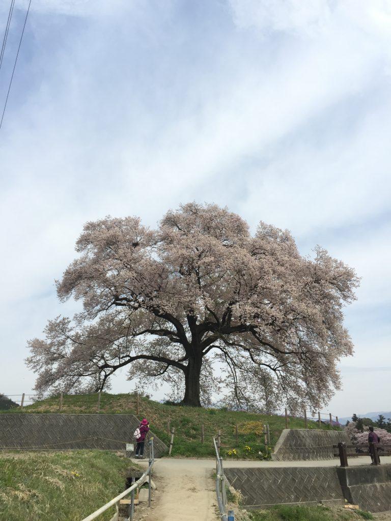 「わに塚の桜」