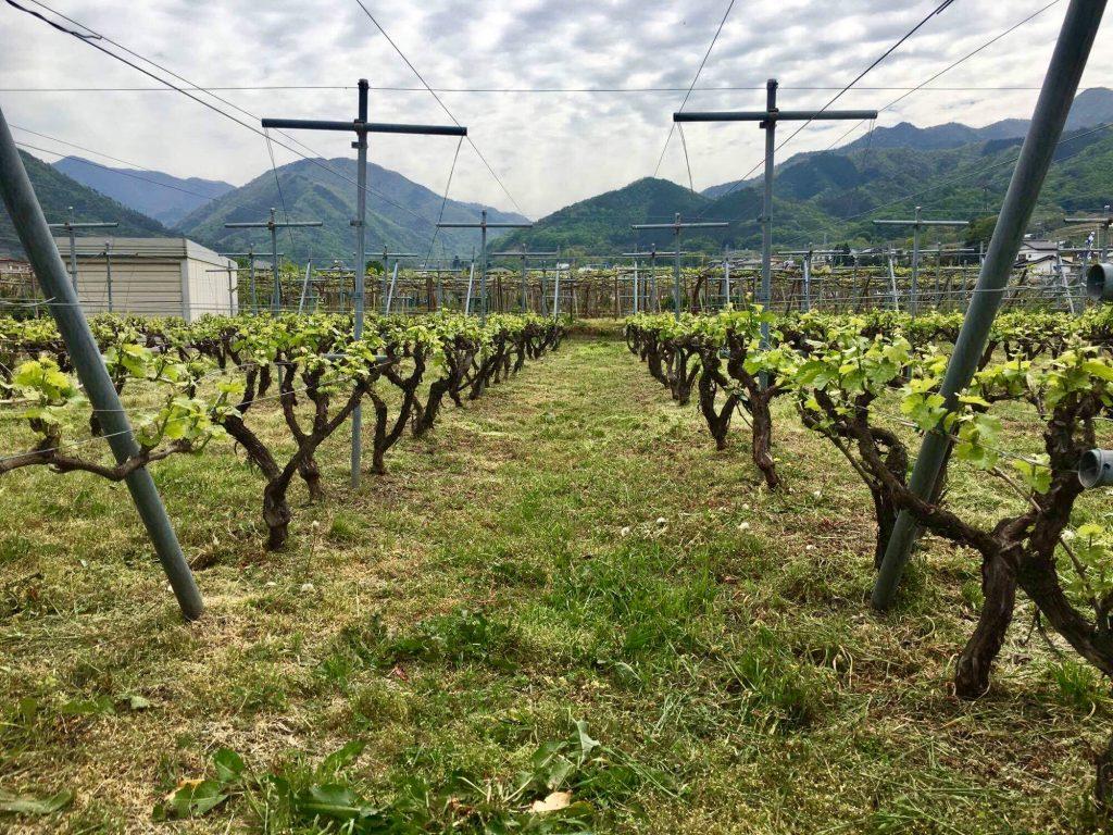 くらむぼんワインの七俵地畑