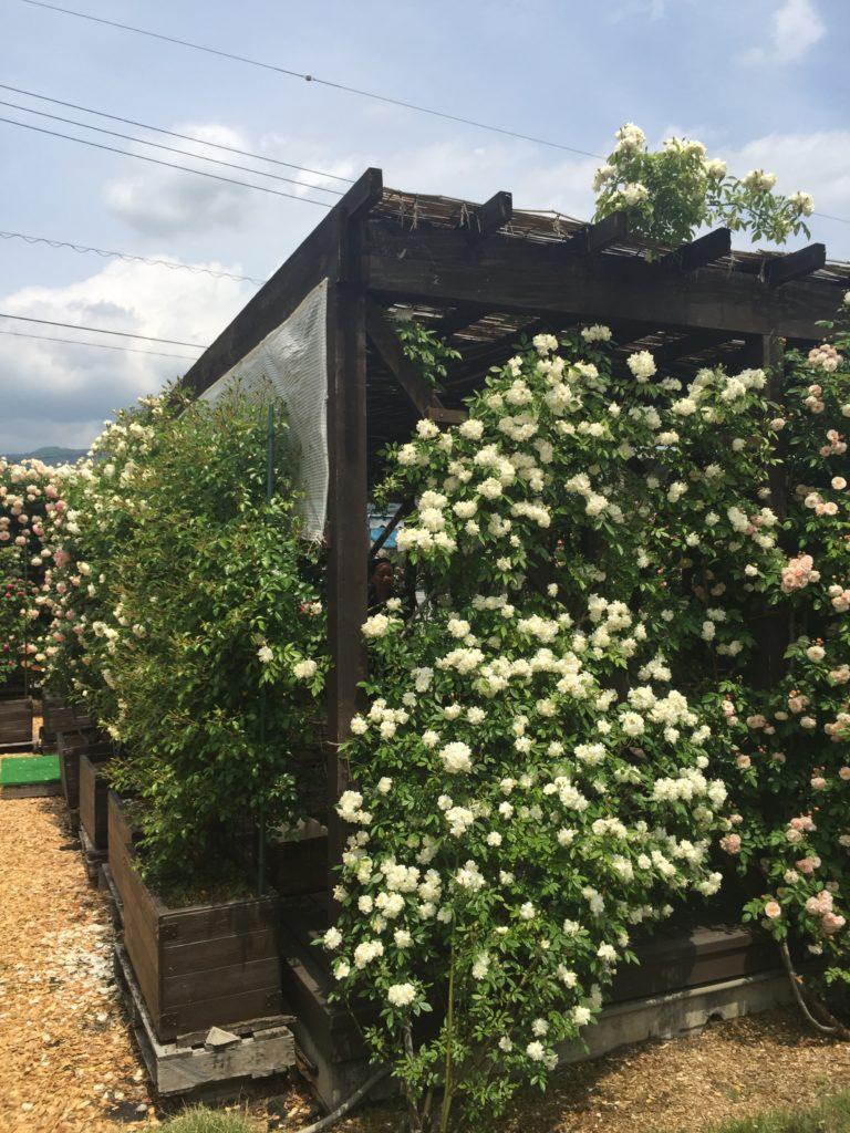 360℃のバラ庭園が楽しめる「カフェ ロココ」のテラス席外観