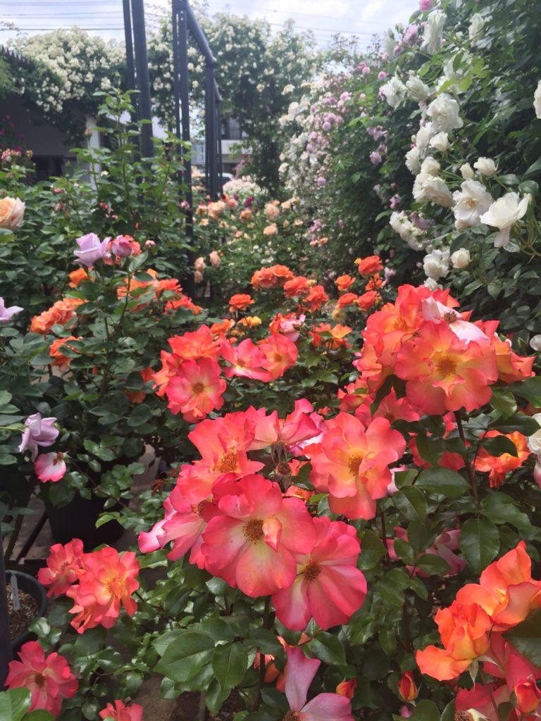 360℃のバラ庭園が楽しめる「カフェ ロココ」