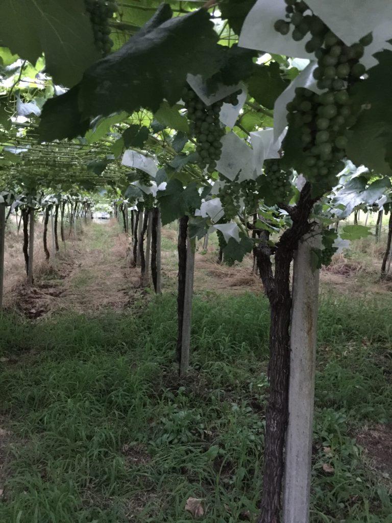ナイトワインツーリズム ルミエールの畑