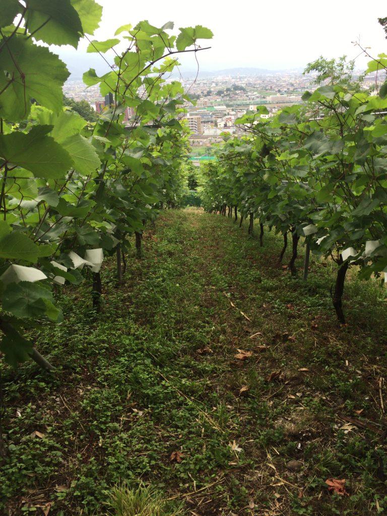 シャトー酒折のブドウ畑