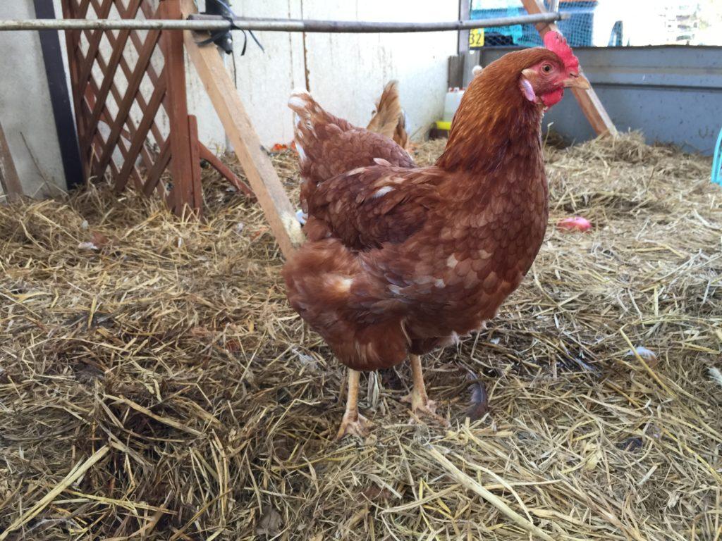 ペイザナ農業組合法人 中原ワイナリーの鶏