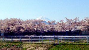 甲府市貢川にある芸術の小径の桜並木と富士山