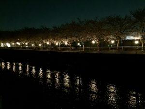 夜の甲府市貢川にある芸術の小径の桜並木