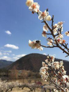 甲斐市敷島の梅の花畑