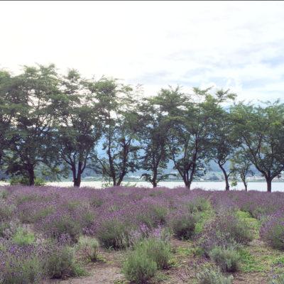 八木崎公園 河口湖ハーブフェスティバル ラベンダー