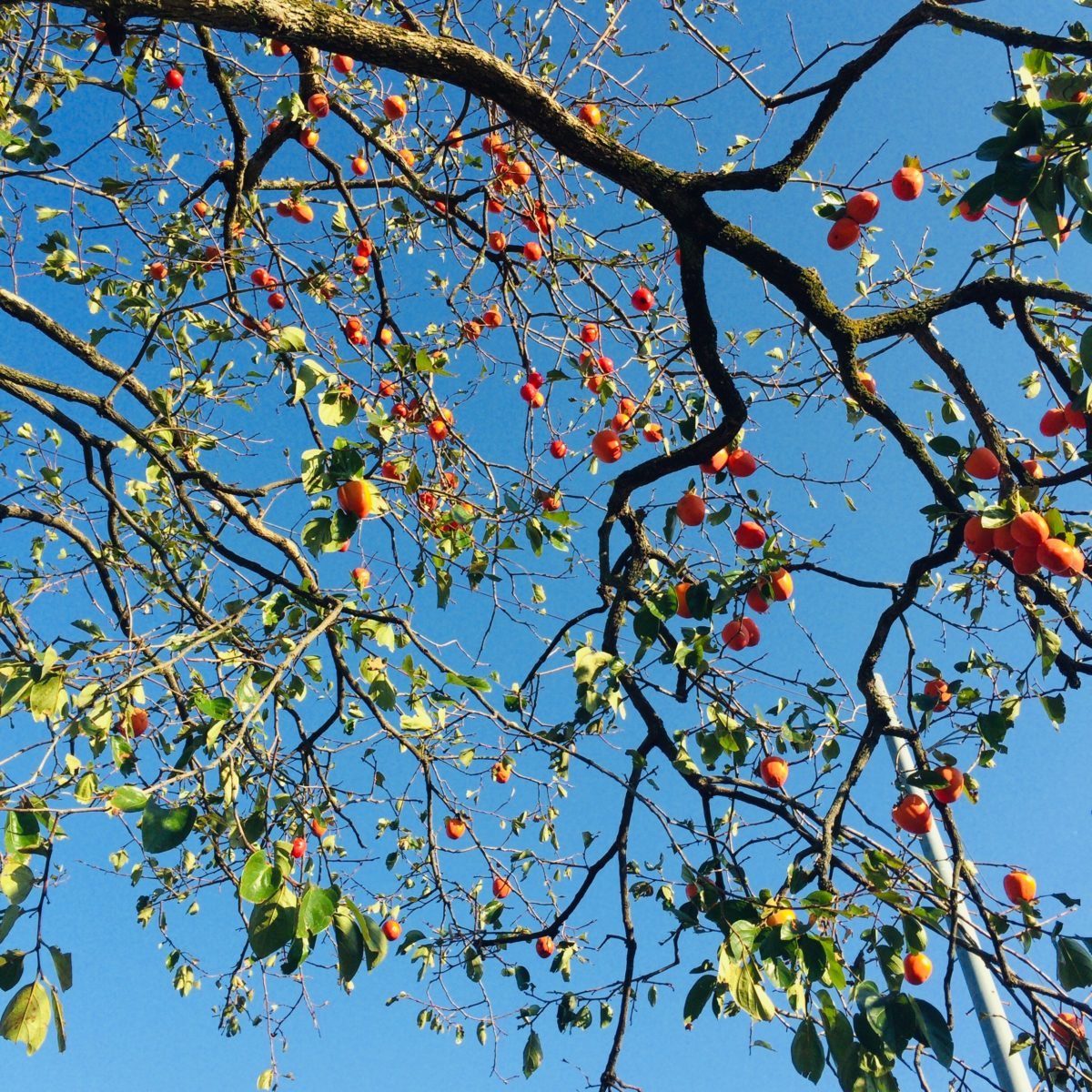 勝沼醸造の柿の木