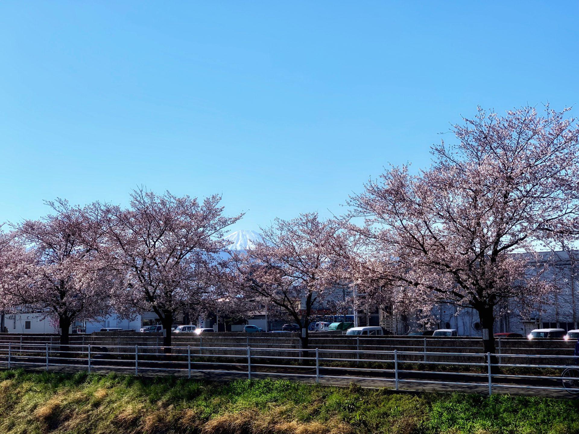 芸術の小道の富士山と桜
