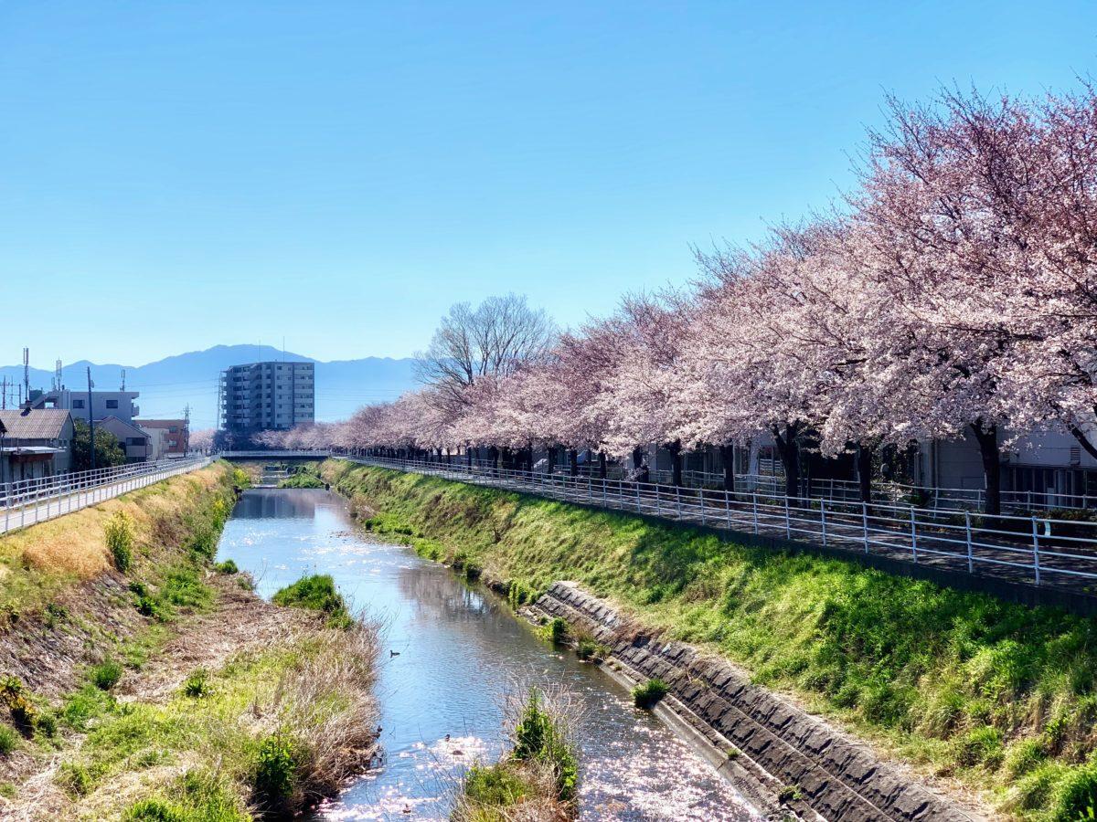 貢川沿いの芸術の小径 サクラ観賞