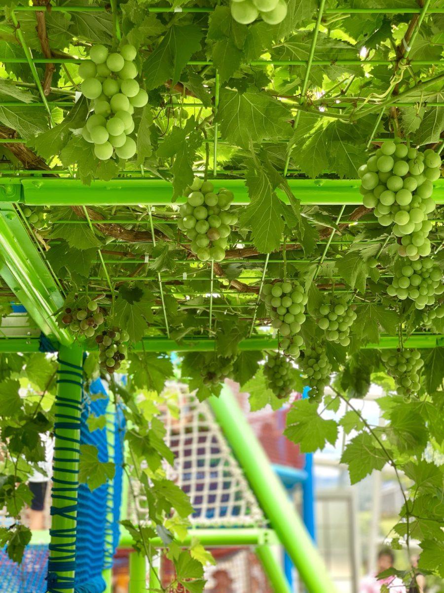 山梨市にあるフルーツ公園のドーム内にある遊具上部で栽培されているブドウ