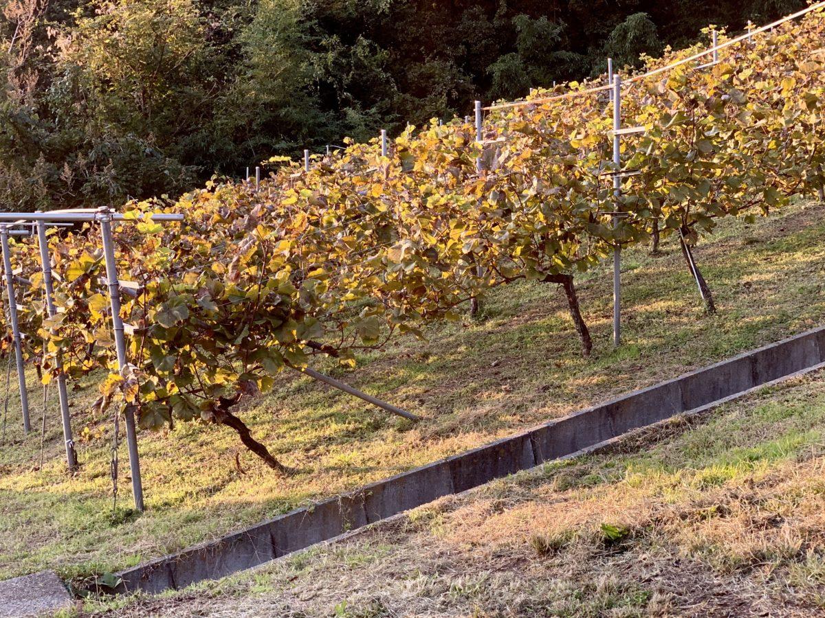 ワインツーリズムやまなし2019・秋「シャトー酒折ワイナリー」のぶどう畑