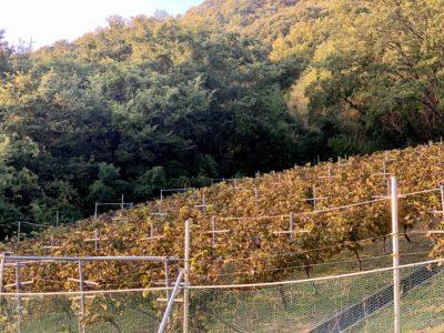 ワインツーリズムやまなし2019・秋「シャトー酒折ワイナリー」のブドウ畑