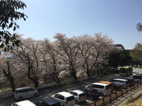愛宕山こどもの国の桜並木