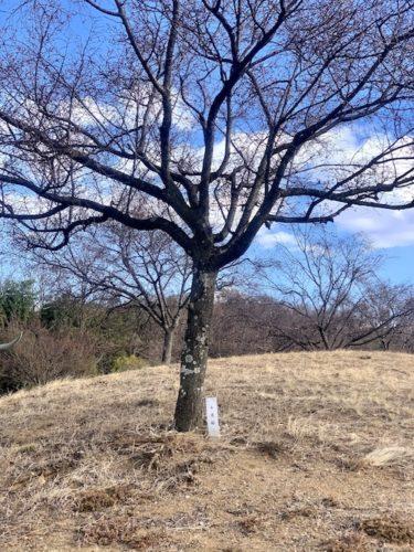 双葉水辺公園の10月桜